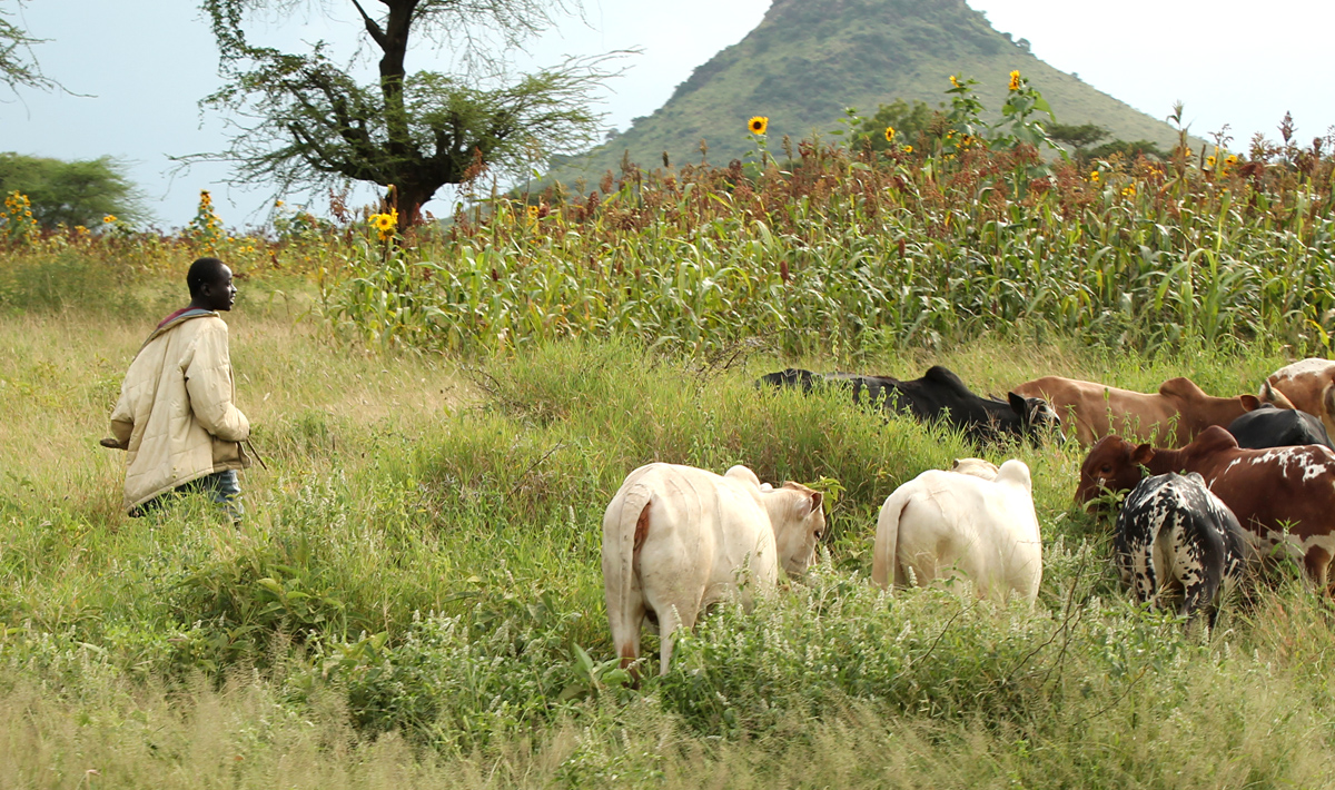 Cattle keepers, farmers at each other's throats in Lainya